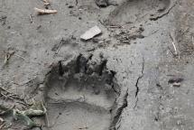 08_Tropy niedźwiedzia grizzly (fot. Sebastian R. Bielak)